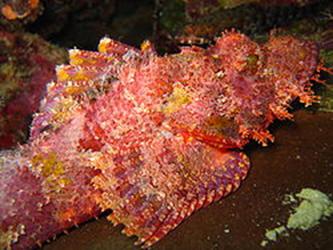 pterois volitans fishbase
