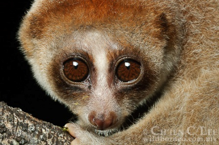 Facts Of A Slow Loris Nycticebus Coucang