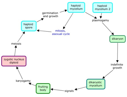 Life Cycle Of Fungi Diagram Product Wiring Diagrams