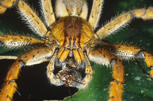 Brazilian Wandering Spider P Fera