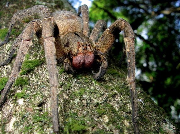 Fun Page Everyone Knows That The Brazilian Wandering Spider
