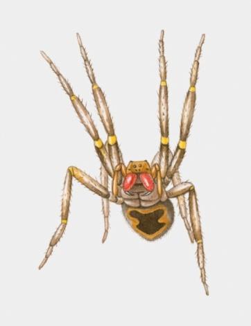 Brazilian Wandering Spider- P. fera