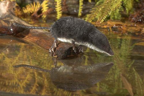 Image result for Eurasian Water Shrew