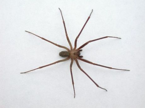 Brown Recluse - Interesting Facts - photo#1