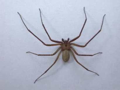 Brown Recluse - Interesting Facts - photo#13