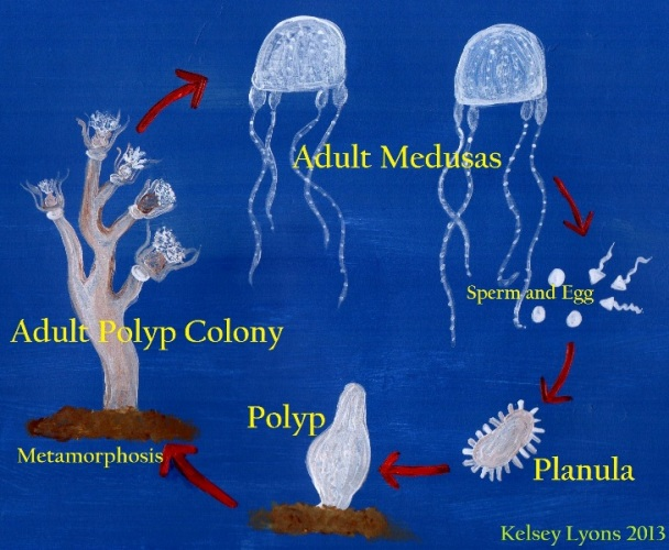 Reproduction Carukia Barnesi Irukandji Jellyfish