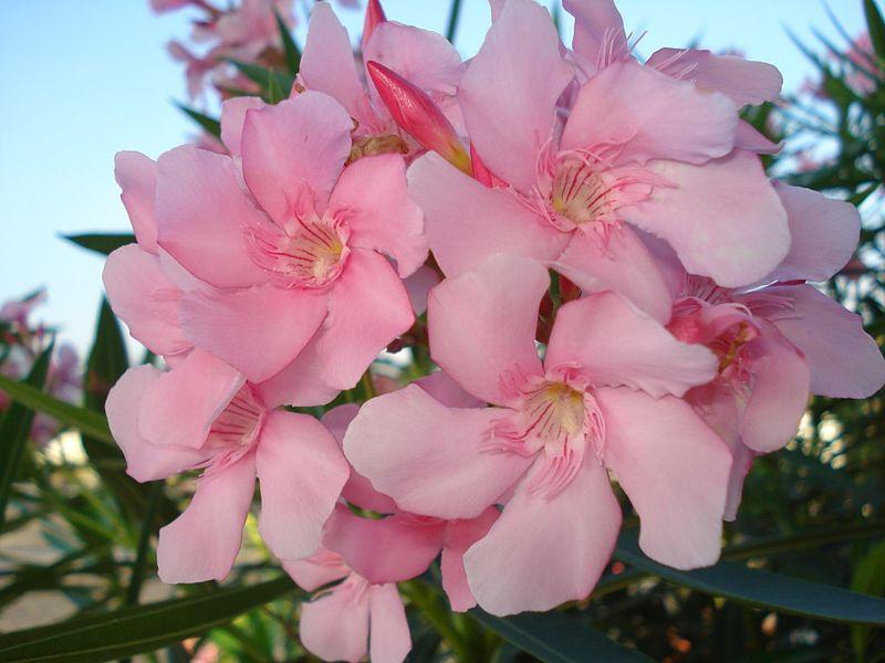 Oleander facts pink oleander flower thanks to aruna mightylinksfo
