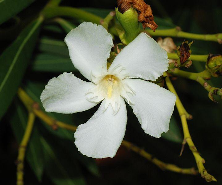 Oleander homepage oleander leaves thanks to green white oleander flower thanks to alvesgaspar mightylinksfo