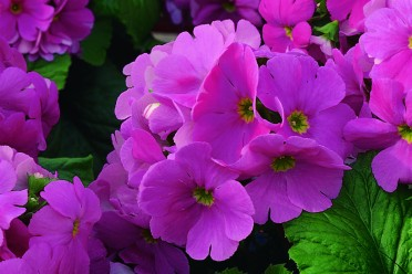 About the Author- Primula obconica