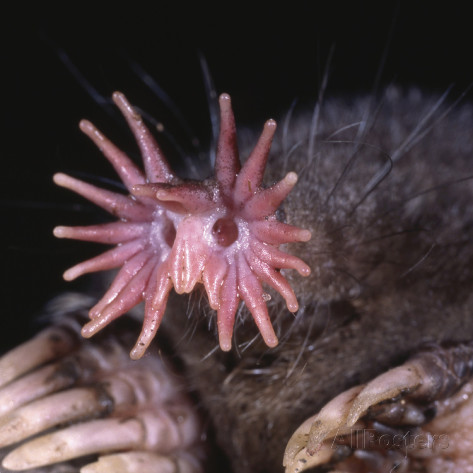 Star-Nosed Mole | Gallery