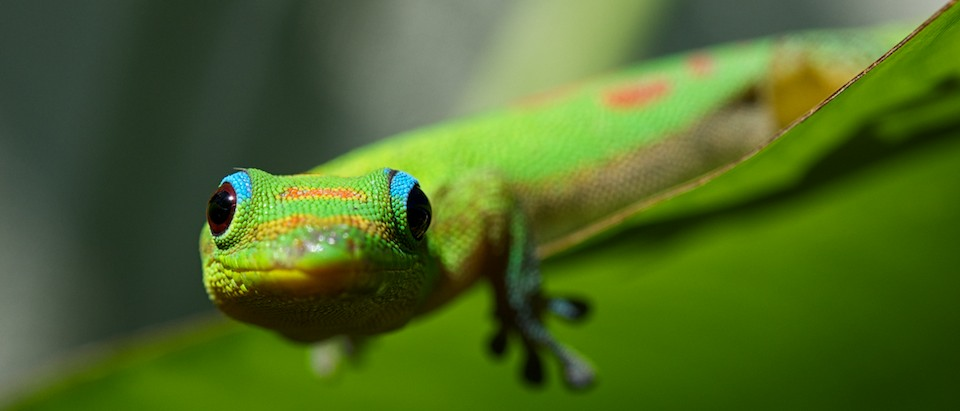 Baby Gold Dust Day Gecko