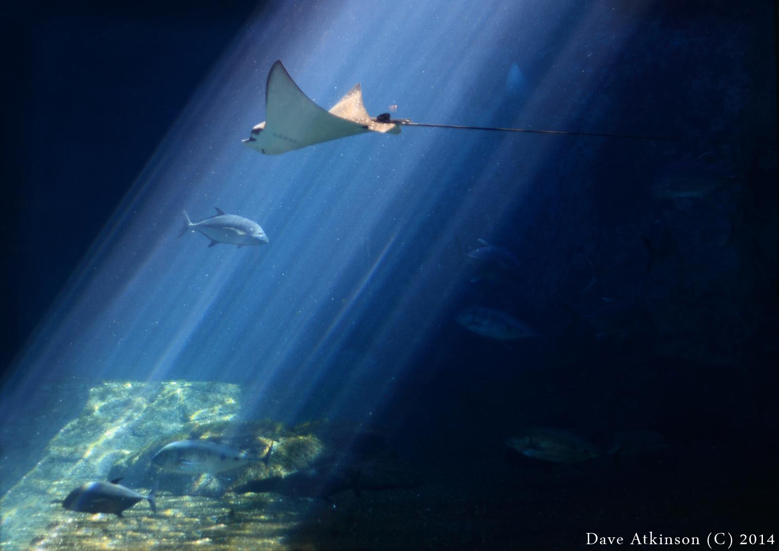 Spotted eagle ray coloring pages - Photo Of A Spotted Eagle Ray Courtesy Of Dave Atkinson