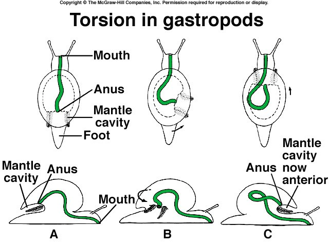 torsion gastropods. torsion gastropods phyla of animalia