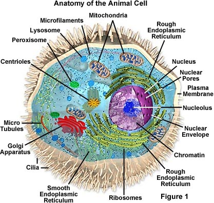 Image Example of Eukaryotic cell in animals