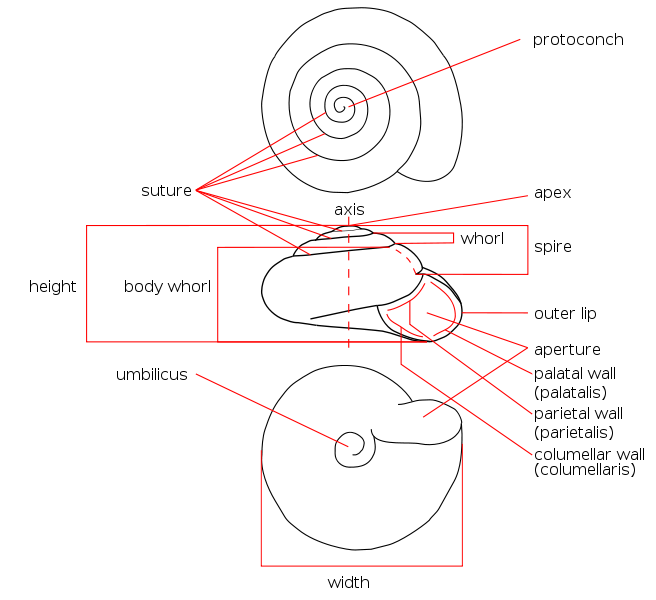 Anatomy Of Snail Choice Image - human body anatomy