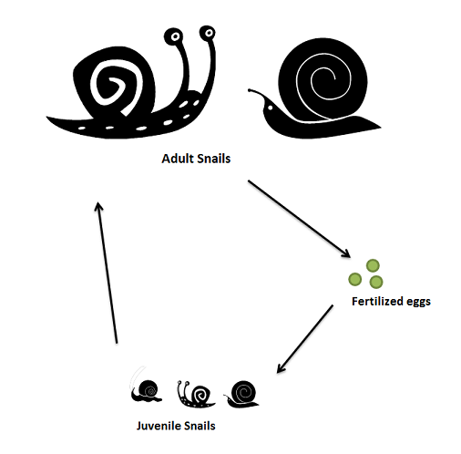 Life Cycle Of A Snail Diagram Wiring Library