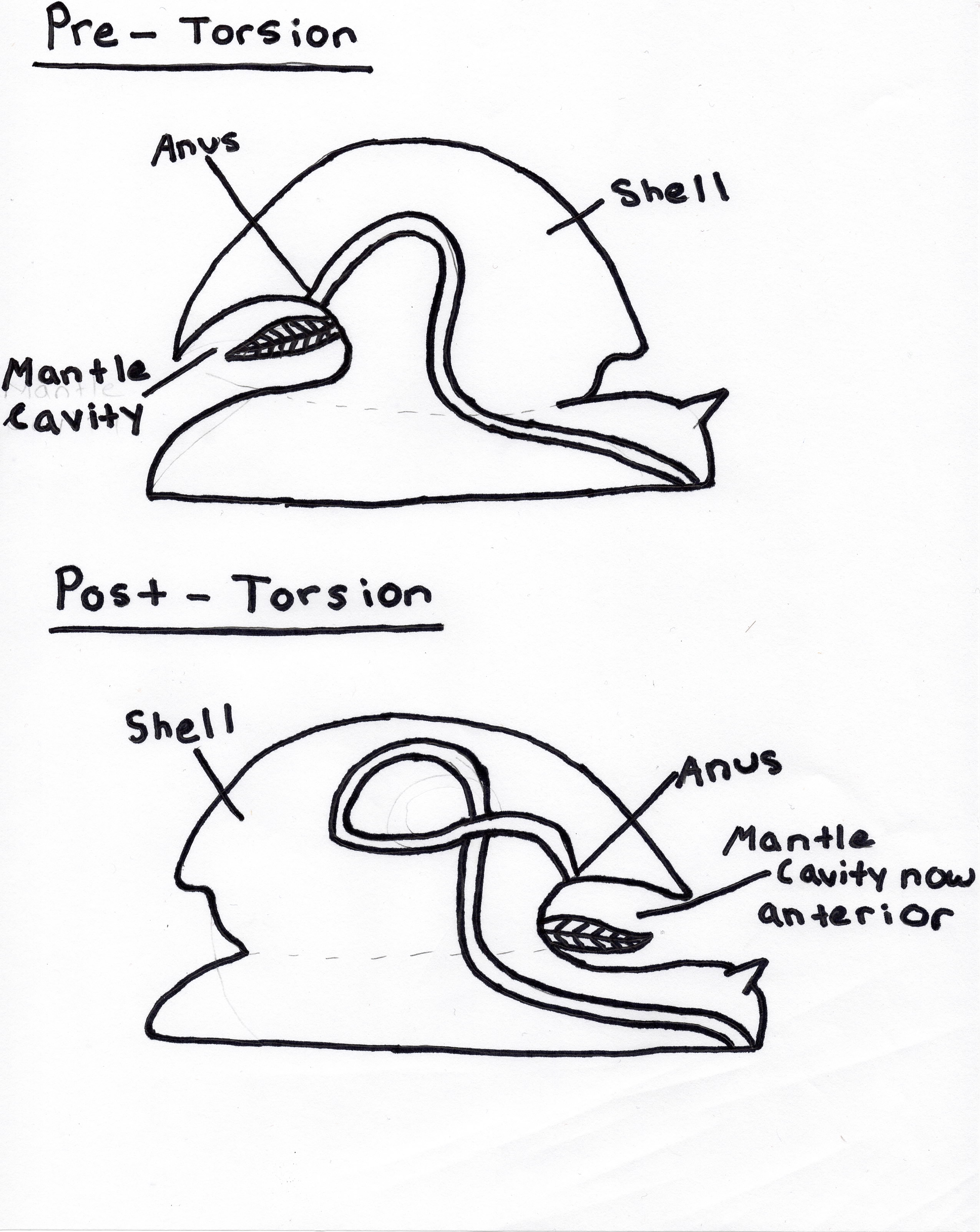 torsion gastropods. over time, all gastropods torsion