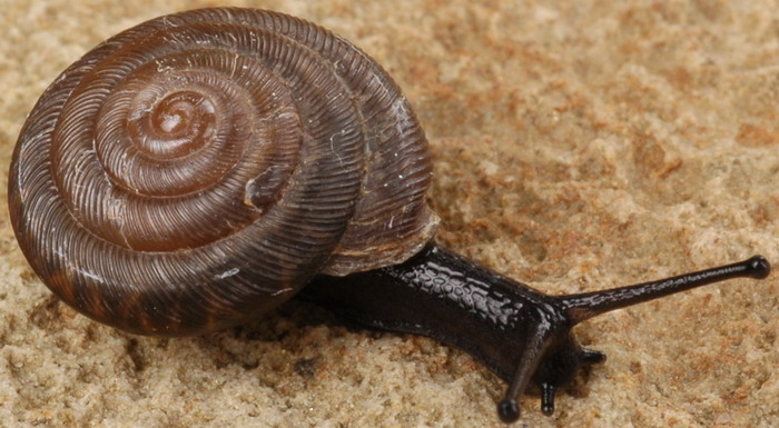 linisa tamaulipasensis