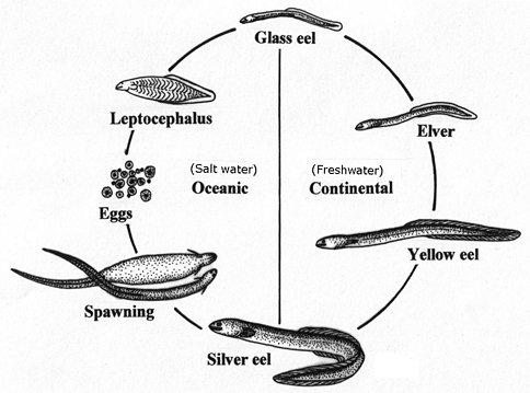 uwl website Moray Eel Jaw Anatomy of an Eel Diagram