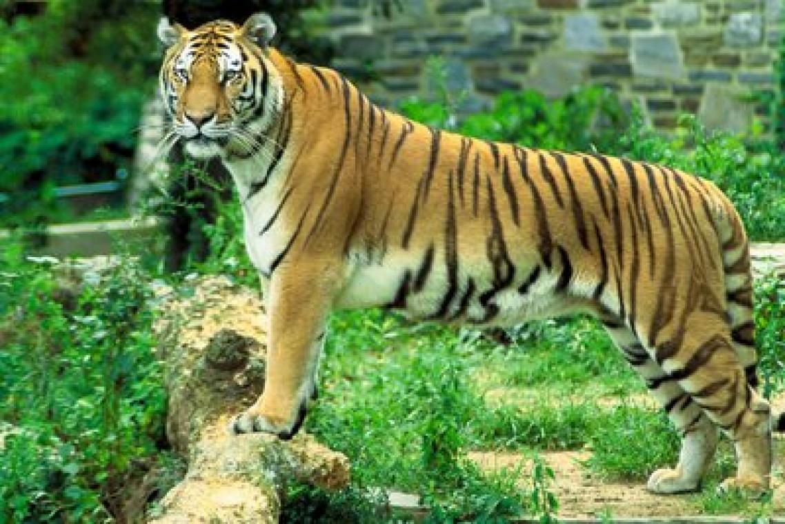Habitat-Panthera tigris