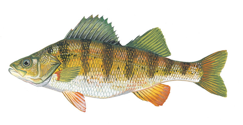 Uwl website for Perch fish facts